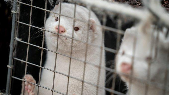 Controversy Intensifies Over Danish 'Zombie Minks' As Company Behind Botched Covid-Culling Identified